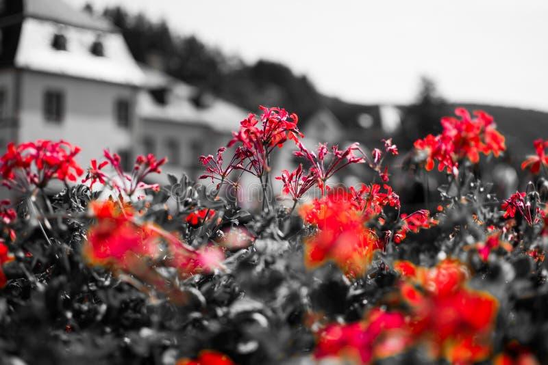 关闭红色花有在黑白的desatured背景 ?? 宏观花图片 免版税库存照片