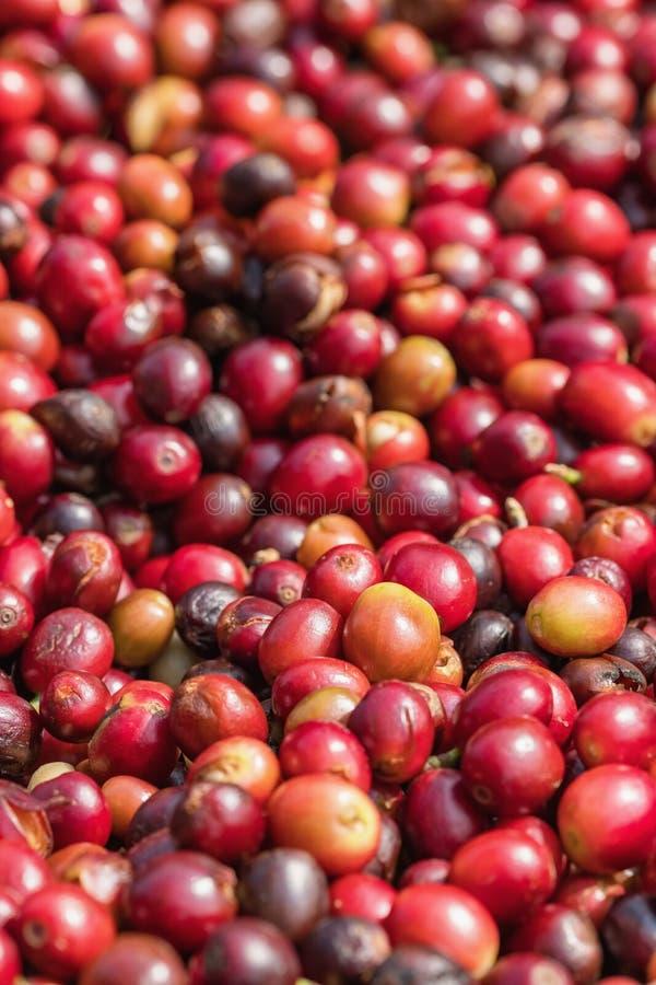 关闭红色莓果咖啡豆 免版税图库摄影