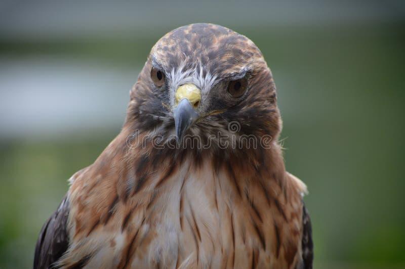 关闭红色被盯梢的鹰 免版税库存照片