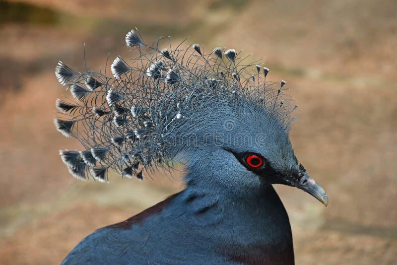 关闭维多利亚旁边画象加冠了鸽子 图库摄影