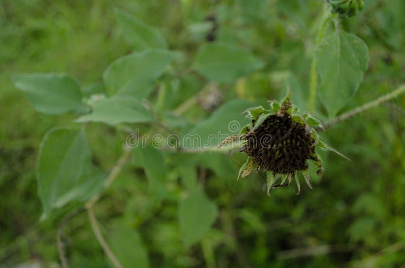 关闭绿色叶子围拢的一个凋枯的向日葵 库存图片