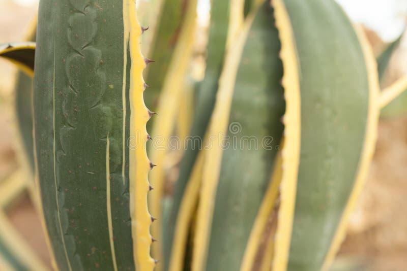 关闭绿色和黄色仙人掌叶子 免版税库存图片