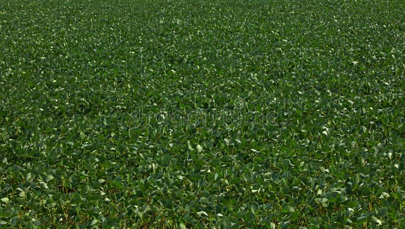 关闭绿色大豆的领域在清楚的蓝天下 免版税图库摄影