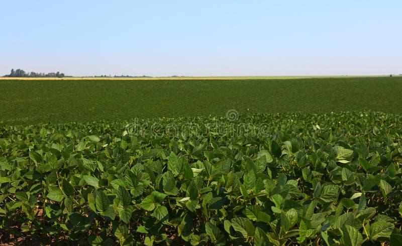 关闭绿色大豆的领域在清楚的蓝天下 库存照片