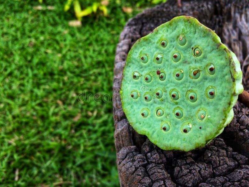 关闭绿色新鲜的莲花花苞的图象 库存图片