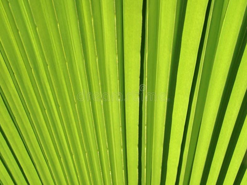 关闭绿色棕榈树叶子纹理 免版税库存照片