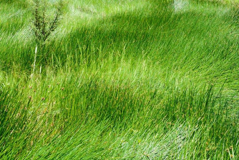 关闭绿色莎草属纸莎草领域 库存照片