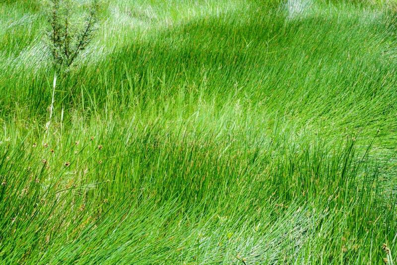 关闭绿色莎草属纸莎草领域 库存图片