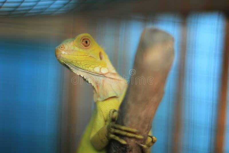 关闭绿色鬣鳞蜥 选择聚焦 免版税图库摄影