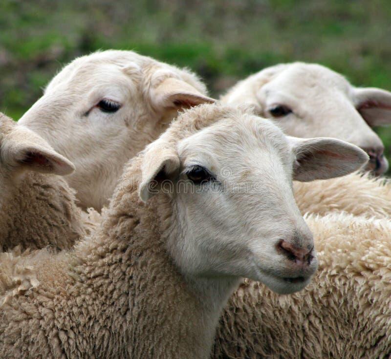关闭羊羔,绵羊 库存照片