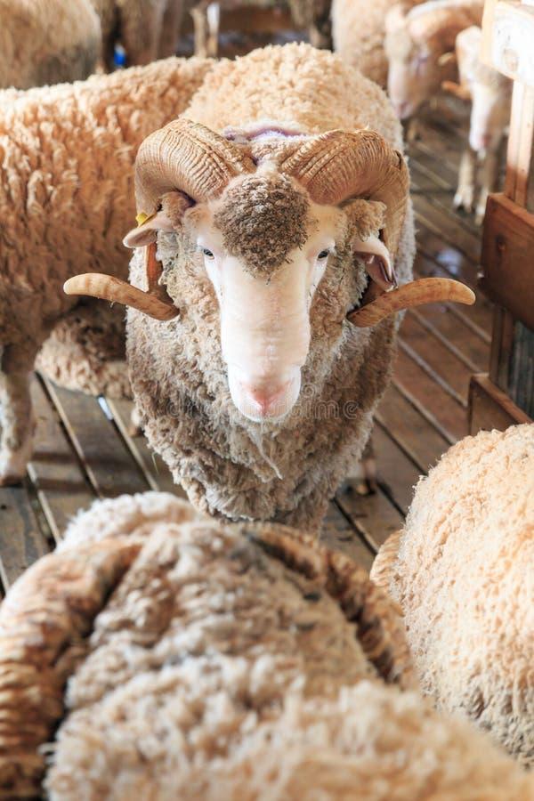关闭羊魄在自然农场 图库摄影