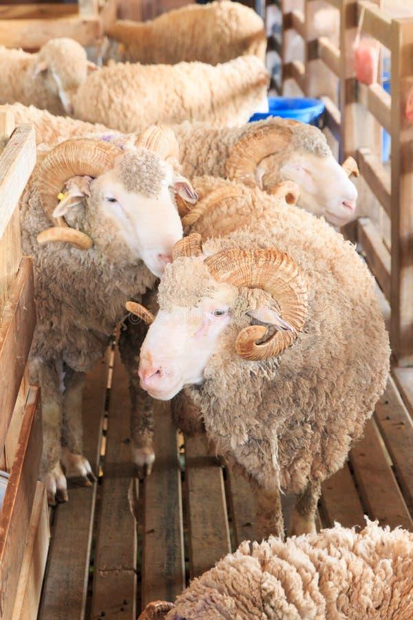 关闭羊魄在自然农场 库存照片