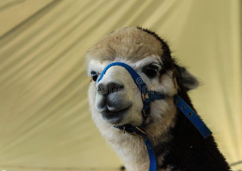 关闭羊魄骆马在农厂商展 免版税库存照片