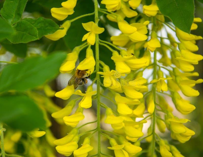 关闭美丽和嫩黄色金合欢花 免版税图库摄影
