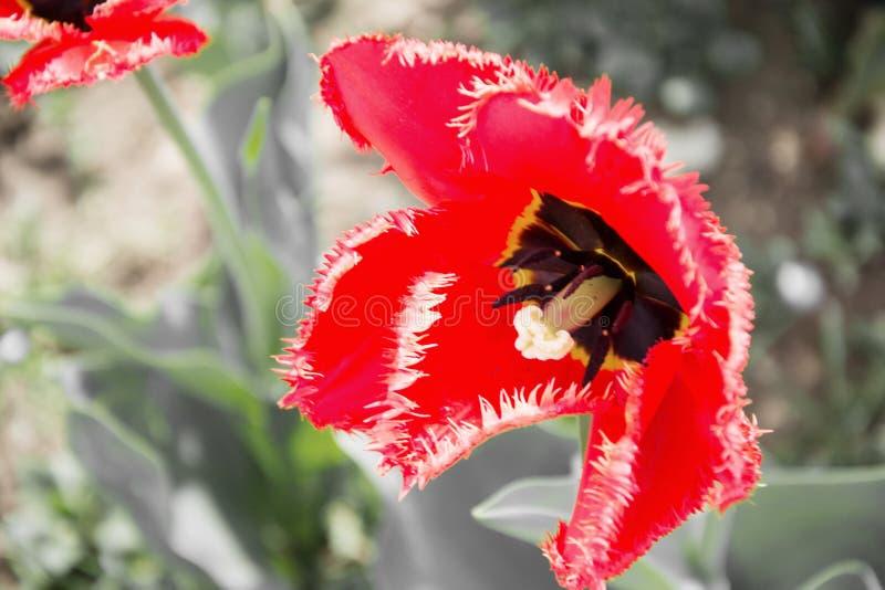 关闭美丽开花红色和黄色郁金香在庭院里春天 背景五颜六色的春天 晴朗的日 库存照片