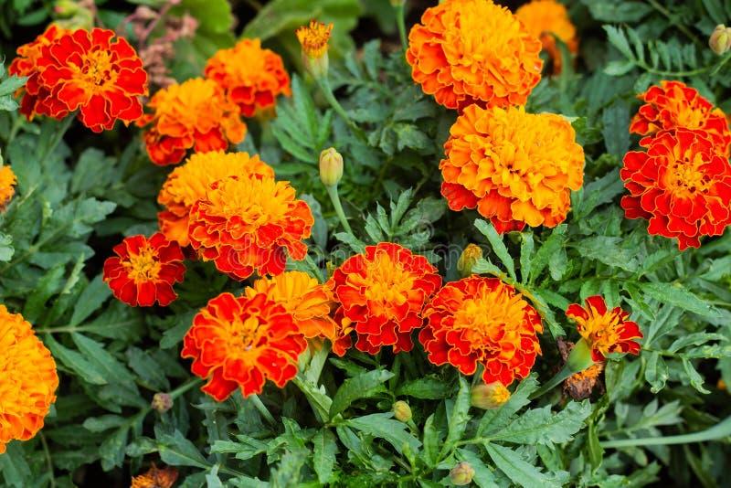 关闭美丽的万寿菊花在庭院里 库存图片