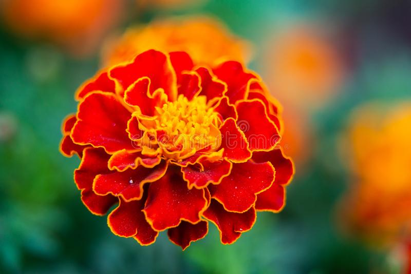 关闭美丽的万寿菊花或Tagetes erecta,墨西哥,阿兹台克或者万寿菊在庭院里 万寿菊宏指令  免版税库存图片