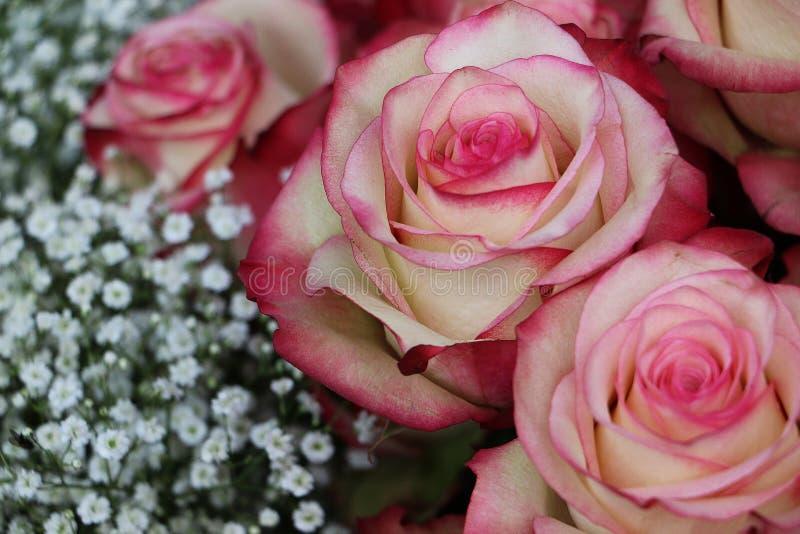 关闭美丽的五颜六色的玫瑰 免版税图库摄影