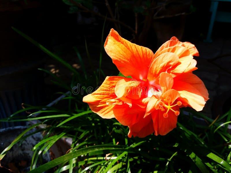 关闭美丽的桔子,鞋子花,木槿或汉语上升了开花与绿色叶子和黑暗的背景 免版税库存图片