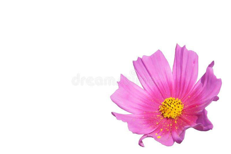 关闭美丽的波斯菊花 库存图片