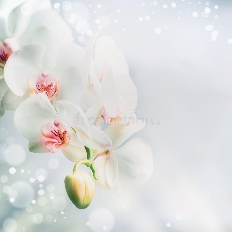 关闭美丽的白色兰花花在与bokeh的蓝色背景 自然、温泉或者健康概念 库存照片