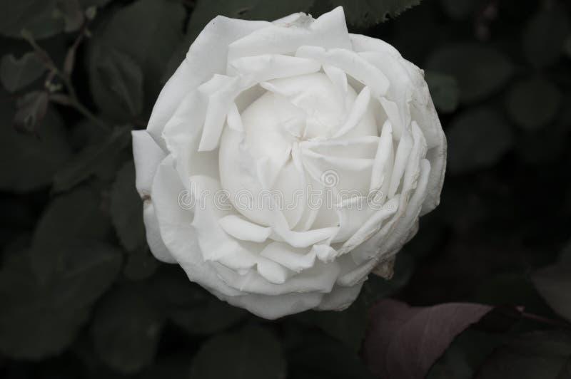 关闭美丽的白色玫瑰色开花 图库摄影