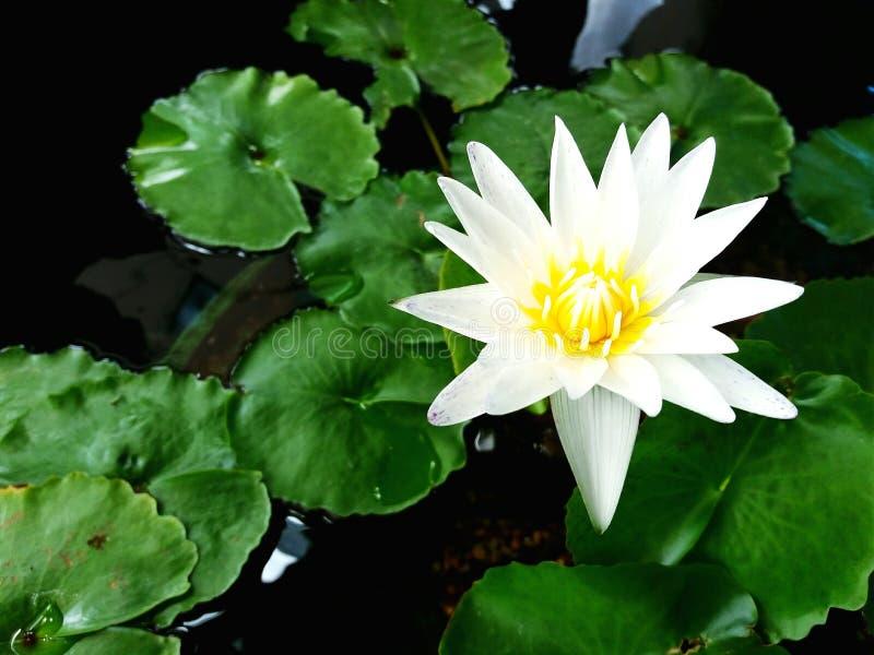 关闭美丽的白莲教或荷花在水和绿色叶子背景 库存照片