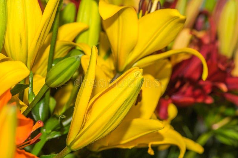 关闭美丽的黄色百合,萱草属植物百合属植物bulbiferum 图库摄影