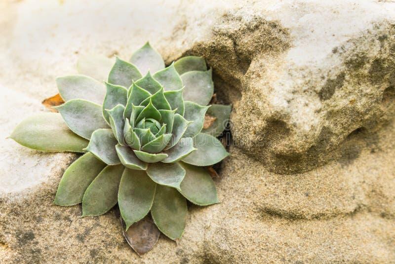 关闭美好多汁花卉生长在石头 图库摄影