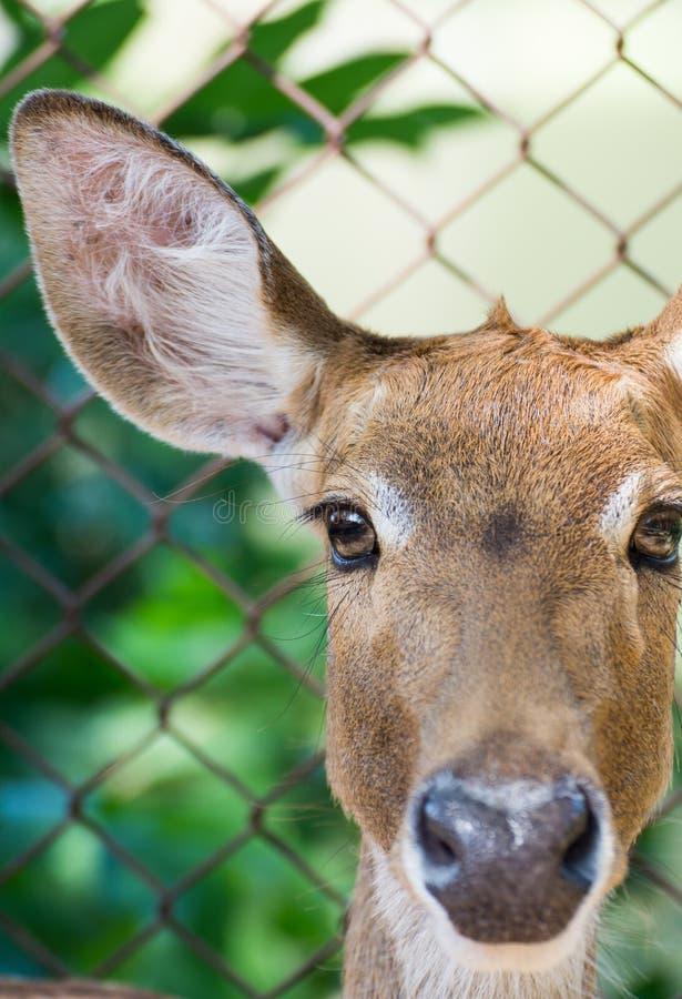 关闭羚羊的画象 免版税库存图片