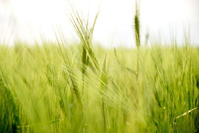关闭耳朵/在庄稼的一个新的黑麦,绿色领域钉牢,与自然日落光,在多布罗加,图尔恰,罗马尼亚 库存图片