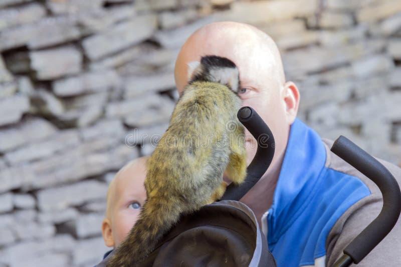 关闭联系与父亲和孩子的黑加盖的松鼠猴子联络在Apenheul动物园阿珀尔多伦荷兰 库存图片