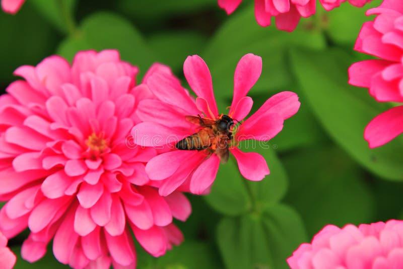 关闭自然和蜂在桃红色开花,美丽的花欢乐的华伦泰的 免版税库存照片
