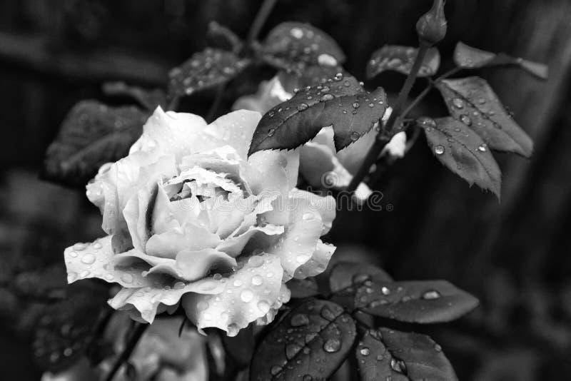 关闭自然美丽的玫瑰在黑白的庭院里开花 免版税库存照片