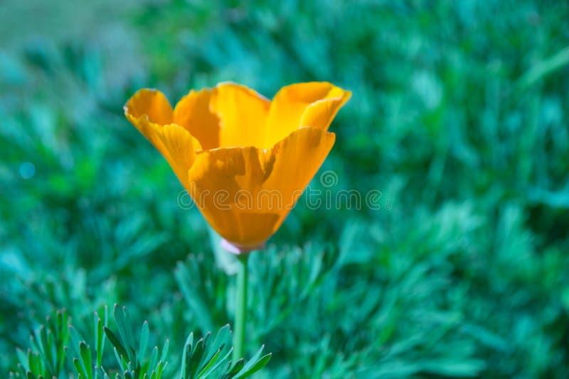 关闭花菱草或金黄鸦片-钨样式 图库摄影