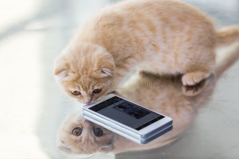 关闭苏格兰人与智能手机的折叠小猫 库存图片