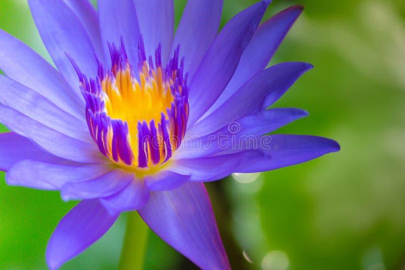 关闭莲花和叶子在水 免版税库存图片