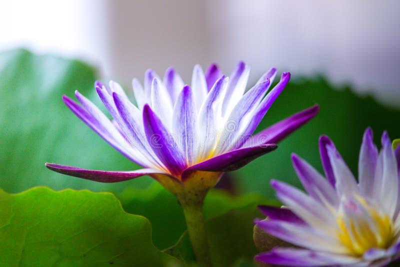 关闭莲花和叶子在水 免版税图库摄影