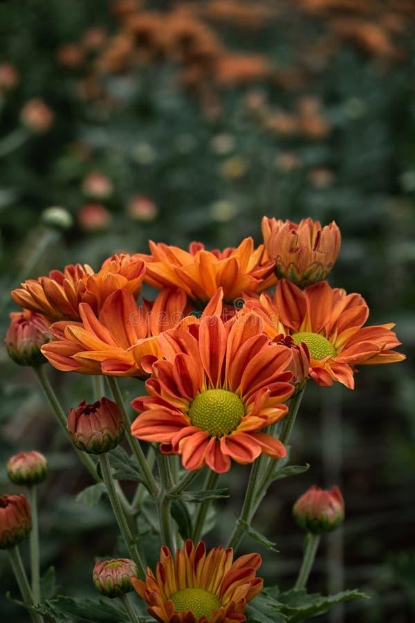 关闭菊花花背景,菊花庭院美好的红色  免版税图库摄影