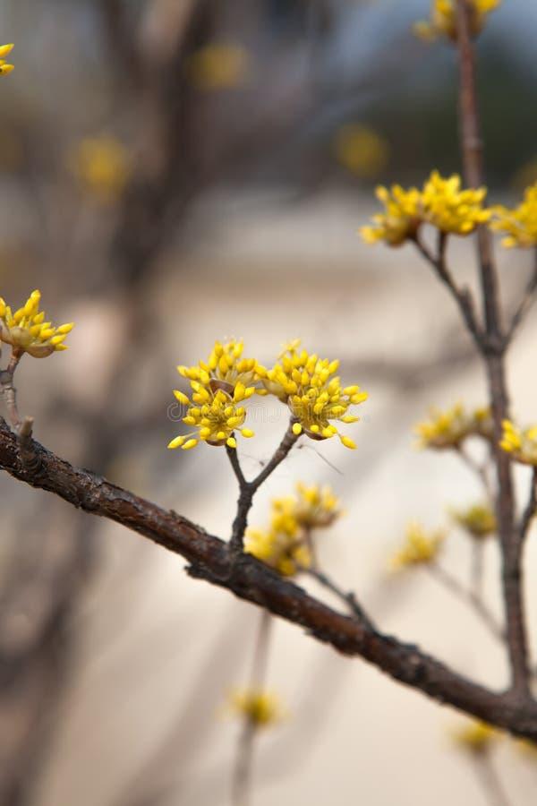 关闭萸肉mas灌木,韩国summ黄色花  库存照片