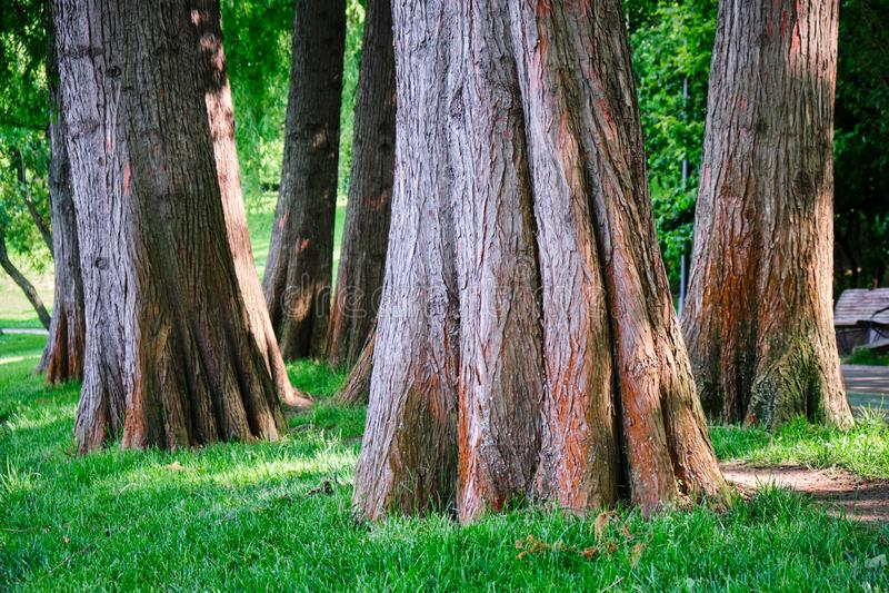关闭落羽松distichum池柏树干在一个湖附近在都市公园 这些是落叶针叶树树 库存图片