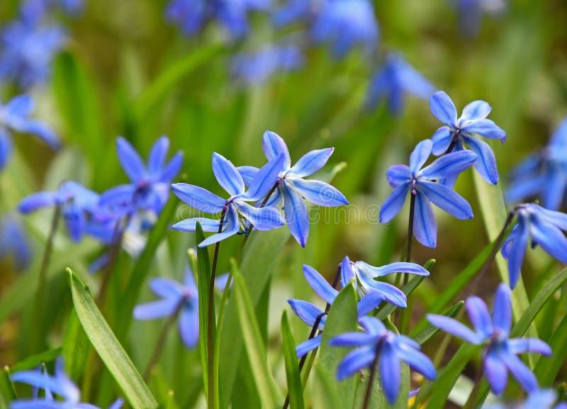 关闭蓝色春天Scilla花的领域 库存图片