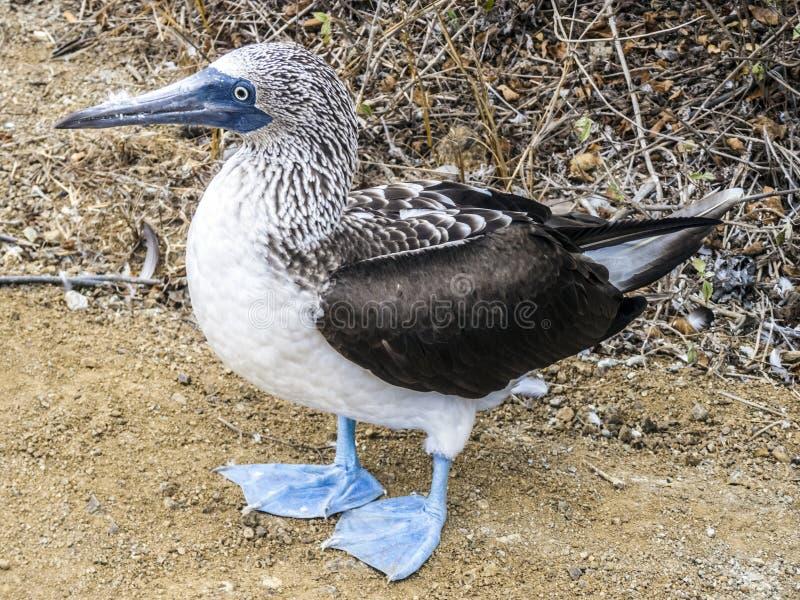 关闭蓝色有脚的笨蛋在北部Seymo加拉帕戈斯群岛  免版税库存照片