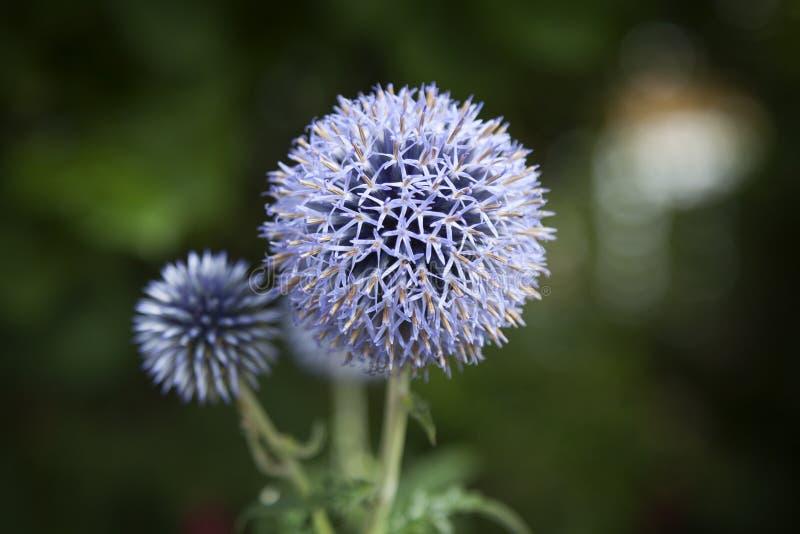 关闭蓝色葱属花卉生长外部 免版税库存照片