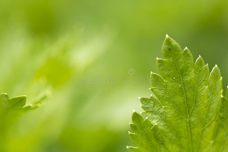 关闭薄荷脑叶子在禅宗绿色背景的阳光下 免版税图库摄影