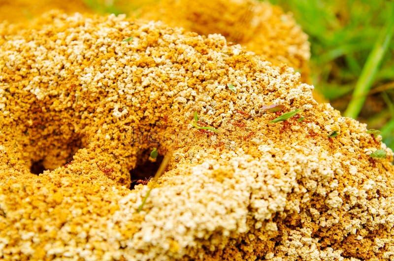 关闭蚁丘在春天森林里,蚂蚁移动蚁丘 叶子运载的小片断他们的 免版税库存图片