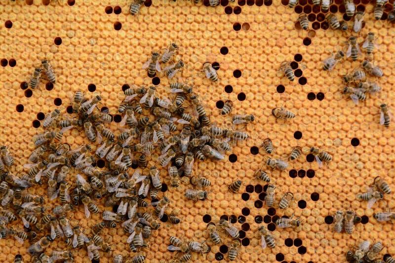 关闭蜂蜂房 免版税库存照片