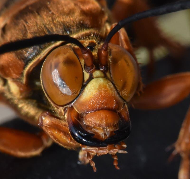 关闭蝉凶手黄蜂或蝉鹰 免版税库存图片
