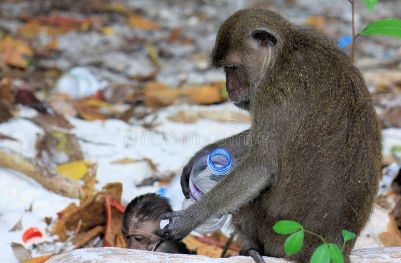 关闭螃蟹吃长尾的短尾猿,在使用与塑料的被污染的海滩的猕猴属fascicularis的母亲和小猴子 库存图片
