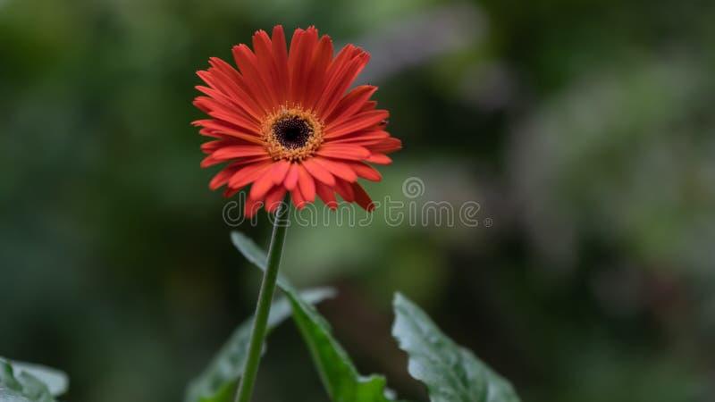 关闭血橙格伯雏菊大丁草jamesonii与绿色叶子和在被弄脏的背景 库存照片